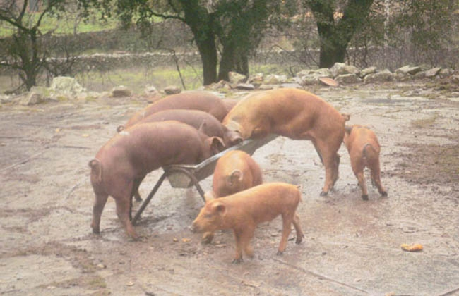 cerdos cooperativa