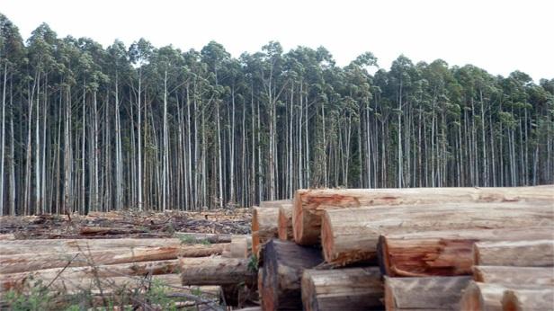 eucaliptus-plantacion-forestal