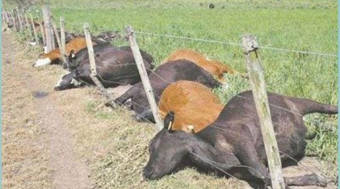 mueren-200-vacas-al-beber-agua-contaminada-con-un-herbicida