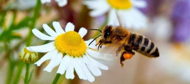 abejas importancia