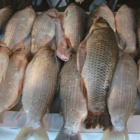 Crisis ictícola en el río Paraná